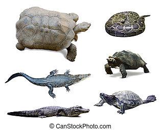 över, sätta, Reptil, isolerat, vit