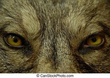 øjne, i, ulv