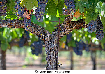 údolí, réva, zrnko vína, napa, červeň