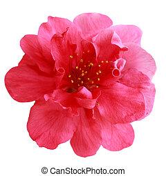 única flor, pêssego