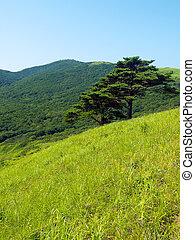 único, árvore, colina, pinho