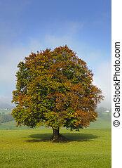 único, árvore faia, em, outono