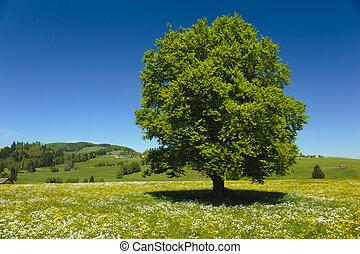 único, árvore faia, em, prado, em, primavera