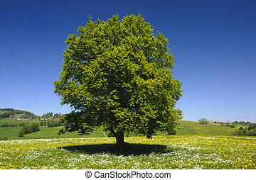 único, árvore, prado, springtime