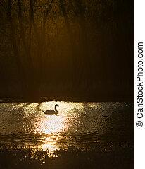 único, cisne, em, amanhecer, ligado, lago