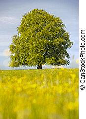 único, grande, árvore faia, em, primavera