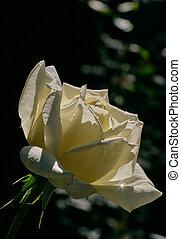 único, rosa branca, flor, contra, experiência preta