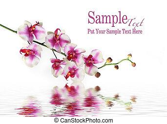 único talo, de, orquídea, flor, ligado, água