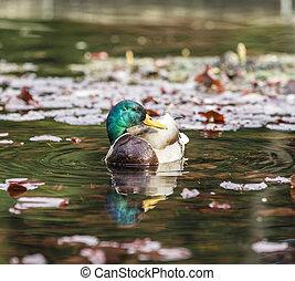 úszás, kacsa, alatt, a, tó