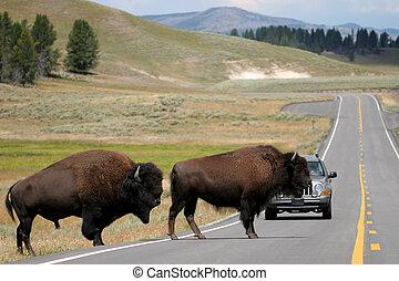 überfahrt, bison, yellowstone, straße