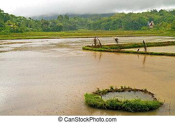 überschwemmt, plantage, reis