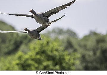 übersiedeln, gänse, natur, bild, greylag, space., flight., wild, kopie, vogel