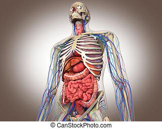 übertragung, intern, darm, organ, 3d
