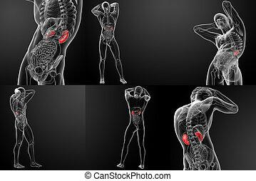 übertragung, nieren, abbildung, 3d