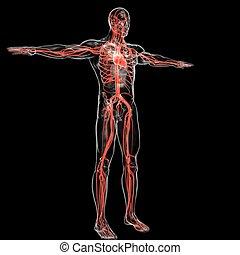 übertragung, zirkulierend, begriff, koerperbau, 3d, medizinisches system, herz, menschliche
