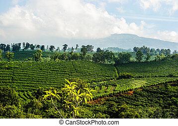 ültetvény, amerikai, latin, kávécserje