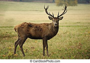 čelní, portrét, o, dospělý, jelen, jelen, do, podzim, podzim