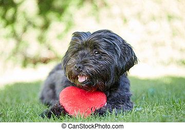 čerň, havanese, pes, s, červené šaty jádro, jako, znejmilejší den