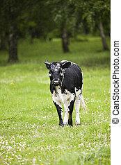 čerň, kráva