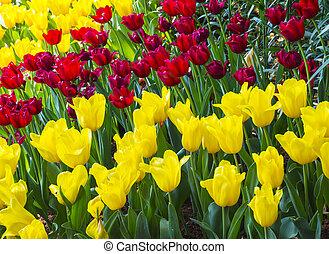 čerstvý, kvetoucí, tulipán, do, ta, pramen, zahrada