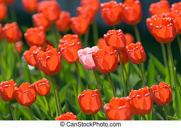 červeň, tulipán