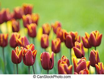 červeň, tulipán, velmi, slabý ohnisko