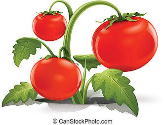 červeň, zralý, rajče