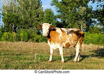 łąka, krowa