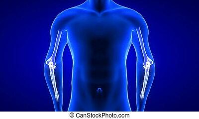 łokieć, ludzki, przód, pętla, close-up., anatomia, ożywienie, ból, seamless, -, tło, 3d, skandować, ciało, render, błękitny, prospekt