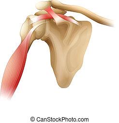 łopatka, kość, mięśnie