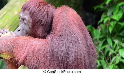 łuszczenie, orzech kokosowy, orangutan