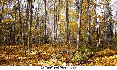ősz, évad, erdő