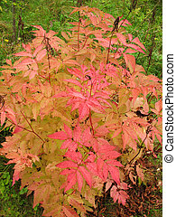 ősz, bokor, dioicus, aruncus