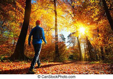 ősz, dicső, erdő, napvilág, jár