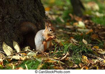 ősz erdő, mókus