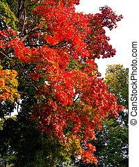 ősz, juharfa, bitófák, alatt, bukás, városi park