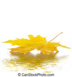 ősz juharfa leaves