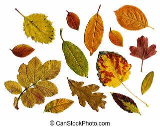 ősz kilépő, állhatatos, elszigetelt