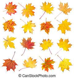 ősz kilépő, állhatatos, juharfa, színes