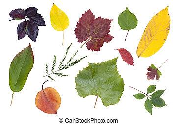 ősz kilépő, állhatatos