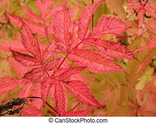 ősz kilépő, dioicus, aruncus