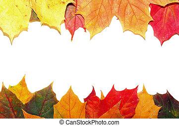 ősz kilépő, juharfa