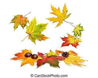 ősz kilépő, lefelé, beautifully, esés, juharfa