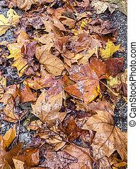 ősz, leaves., színes