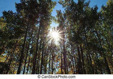 ősz, nyárfa, bitófák, és, nap