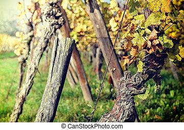 ősz, szőlőskert, után, betakarít