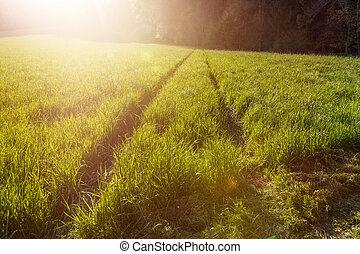 ślad, pole, światło słoneczne, wieczorny, zielony