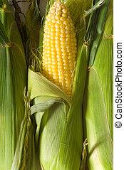 świeży, kukurydziany kaczan