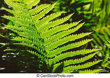 świeży, liście, zielony, paproć