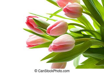 świeży, różowy, tulipany